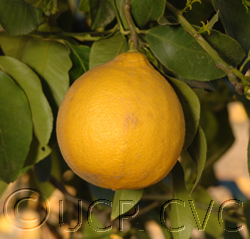 Bergamot fruit hanging on a tree